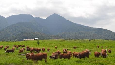 Bibit Sapi Payakumbuh bptuhpt padang mengatas balai pembibitan ternak unggul