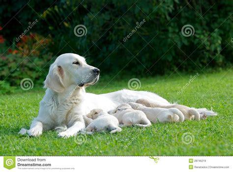 green puppy golden retriever one big golden labrador retriever with forus mall puppies in green grass