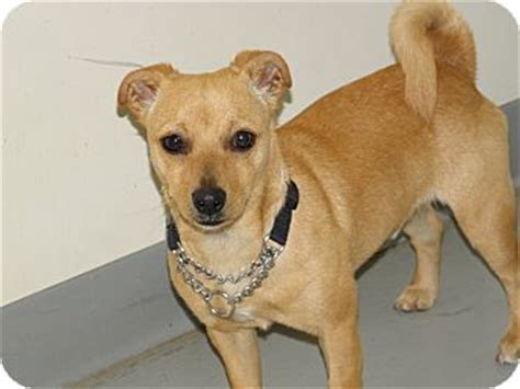 pug chihuahua dachshund mix site unavailable