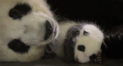 goodnight panda buenas 1683042484 gif d animaux et de nature