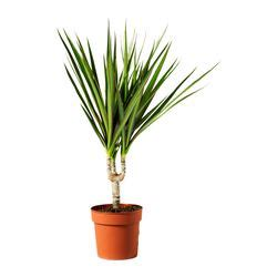 dracaena marginata potted plant ikea succulents plants ikea