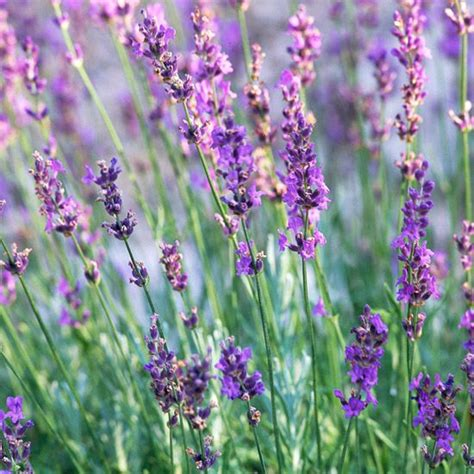 hardy lavender plants grow herbs and flowers in best 25 plants for shade ideas on plants for shady areas hardy plants and