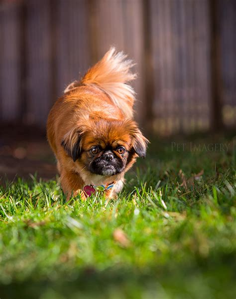 shih tzu pekingese mix puppies for sale shih tzu mixed with pekingese pekingese shih tzu mix 171 saratitus s shih tzu