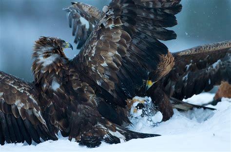 Bird Wallpapers eagle predator bird battle winter j wallpaper 1600x1058