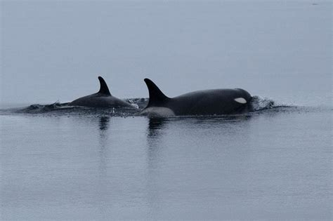 What Animals Live On The Continental Shelf by Ross Sea Species