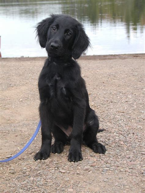 golden retriever coat stages 17 best ideas about flat coated retriever on