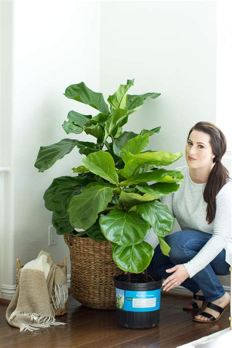 how to keep a fiddle leaf fig alive and happy fiddle how to keep your fiddle leaf fig tree alive how to care