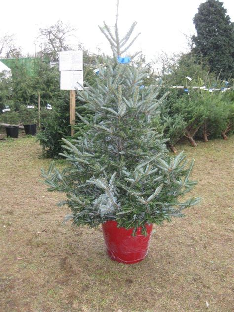 christmas tree farms mobile badgerhillchristmastreefarm co uk