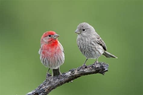 finches house house finch backyard birds pinterest finches search and house