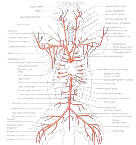 arteries diagram cat vein and artery anatomy