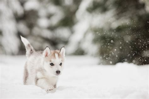 snow husky puppy siberian husky puppy walking in the snow j godfrey
