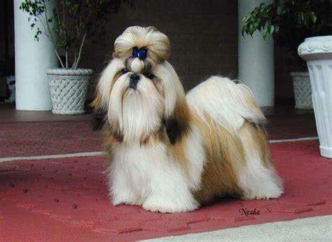 shih tzu ta shih tzu perros mascota breeds picture