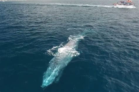 biggest tourist boat in the world drone captures moment massive blue whale dwarfs tourist