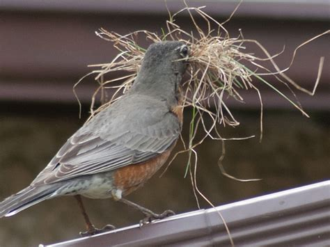 robins build a nest photo gallery