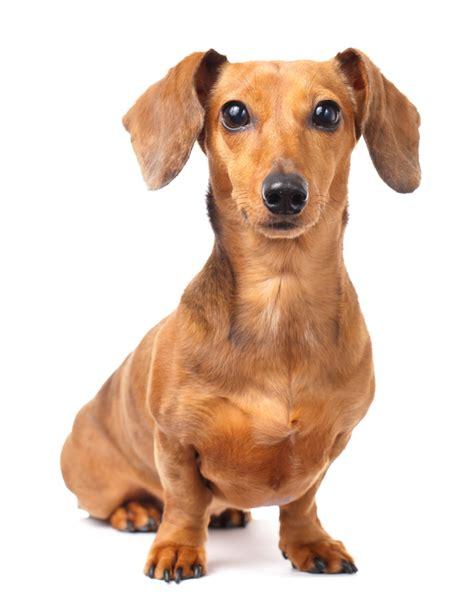 dotson dogs common dachshund health problems seizures