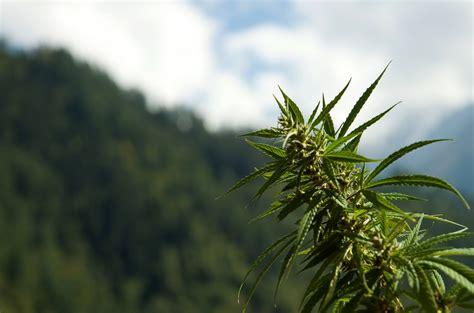 le floraison cannabis comment faire fleurir un plant de cannabis sensi seeds