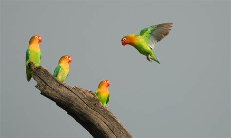 Pakan Lolohan Lovebird Yg Bagus cara meloloh anakan lovebird rumah sang kicau