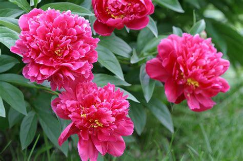 pink flowers   garden  homes gardens
