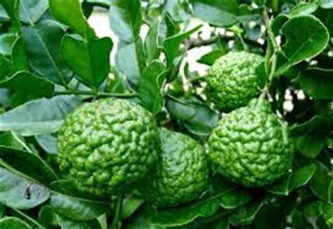 Bibit Tanaman Jeruk Purut Dengan Pot jenis tanaman hias jeruk purut tanaman bunga hias