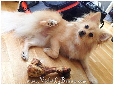 how do pomeranians live in human years happy birthday miss lottie violet lebeaux tales of an ingenue