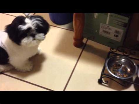 how much should a shih tzu puppy eat beautiful black and white malshi pup for sale in ocala