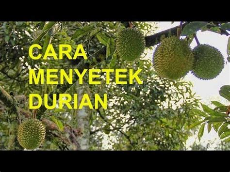 Bibit Durian Musang King Sambung Sisip durian grafting the methods doovi