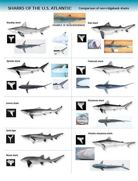 species chart shark species chart