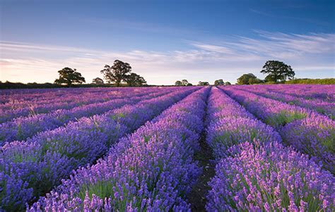 farmers growing british lavender country life