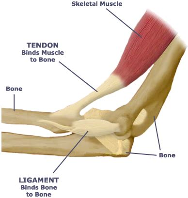 ligaments diagram image gallery tendons