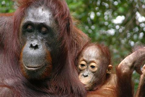 babys needy orangutan moms breastfeed