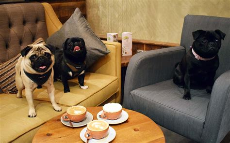 best shoo for pugs pugs are taking this coffee shop in travel leisure
