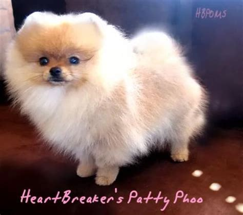 white teacup pomeranian for sale white pomeranian white teacup pomeranian puppies for sale puppy los angeles pomeranians