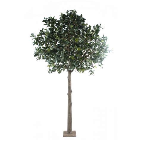 arbre camelia japonica semi naturel elementvegetal