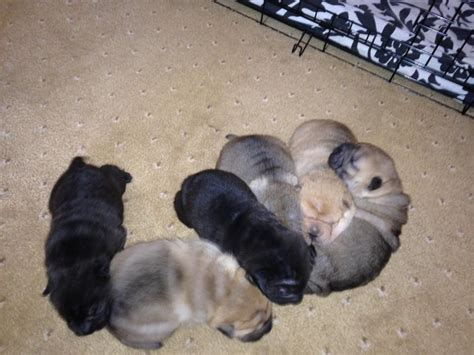shar pei puppy price shar pei puppies for sale reduced price swanley kent pets4homes