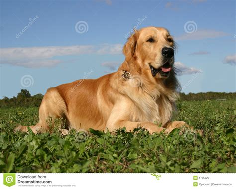 golden retriever grass golden retriever in grass royalty free stock images image 1735329