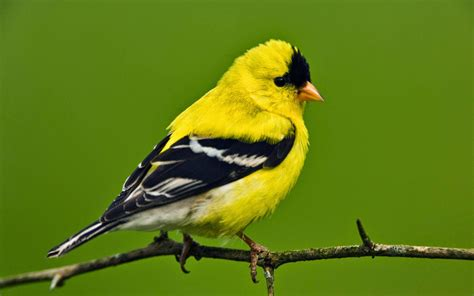 island life in a monastery the goldfinch savior bird