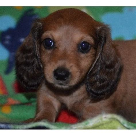 free dachshund puppies in tennessee dachshund breeders in tennessee we mini dachshund puppies for breeds picture