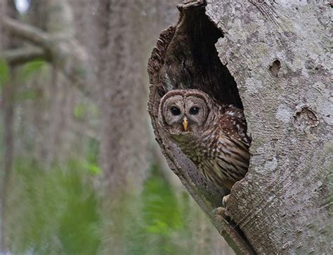 barred owl nest box
