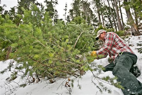 buy christmas tree cuttings trees available in a forest near you news bozemandailychronicle