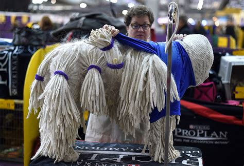 westminster kennel club show westminster kennel club show 2015 pered pooches compete for best in show