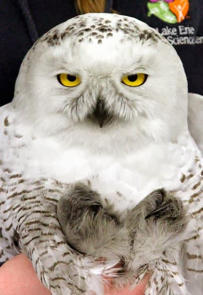 four legged friends and enemies snowy owl rescued from