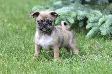 chihuahua x pug puppies chug puppies chug puppies chihuahua x pug breeds picture