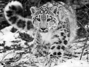 Top 10 Bars In Belfast Animal Behaviour 187 Conservation In Snow Leopards