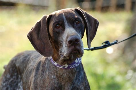 german shorthaired pointer puppies rescue zar german pointer reserved bedford bedfordshire pets4homes