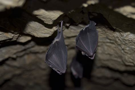 why do bats like to live in caves 187 science abc