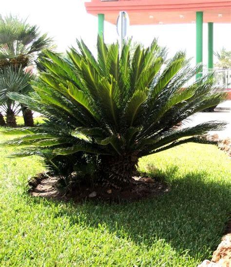 listino prezzi piante da giardino cycas revoluta vaso d 19 cm