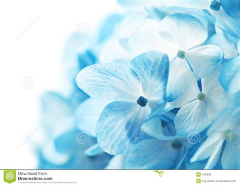 Hydrangea Flowers Background Stock Image   Image: 475333