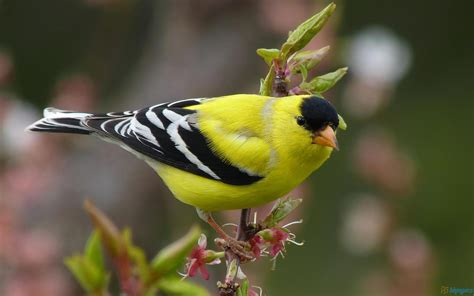 american goldfinch download hd wallpapers