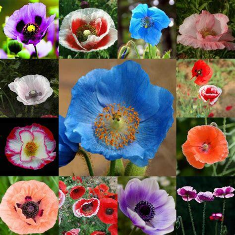 poppy flower colors 100pcs of pearl poppy mix papaver rhoeas flower