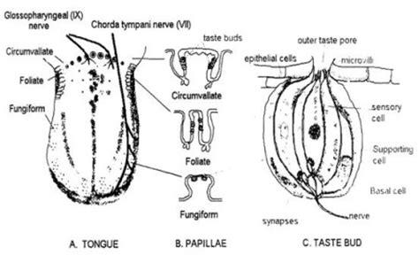 diagram of taste buds taste buds aaron berdofe s wine and food experience